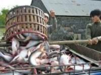Xuất khẩu cá tra năm 2010 đạt khoảng 1,4 tỉ USD, không đạt kế hoạch
