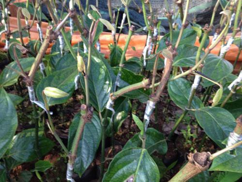 Nông dân đổ xô trồng tiêu ghép gốc dây leo cây rừng Amazon