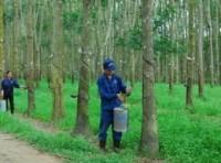 Việt Nam giúp Campuchia giảm nghèo từ cây cao su