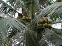 Dừa có giá cao – nông dân trồng dừa phấn khởi