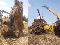 """Tây Nguyên: """"Sốt"""" gốc cây rừng"""