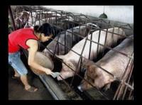 """Các trang trại nuôi lợn không """"găm"""" hàng chờ giá"""