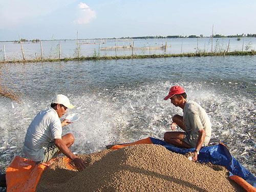 Thức ăn thủy sản kém chất lượng sẽ gây hại cho người nông dân (Ảnh minh họa)