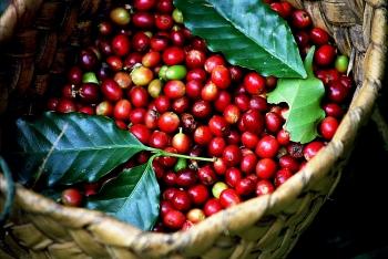 Giá cà phê hôm nay 12/3: Tiếp tục tăng, cán mốc 33.000 đồng/kg