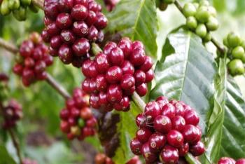 Giá cà phê hôm nay 25/3: Giao dịch cầm chừng, nguồn cung tiếp tục suy giảm