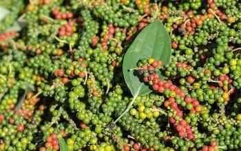 Giá tiêu hôm nay 25/2: Tăng mạnh tại nhiều vùng trồng, cán mốc 55.000 đồng/kg