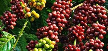 Giá cà phê hôm nay 30/3: Giảm nhẹ, cà phê Robusta mất mốc 1.400 USD/tấn