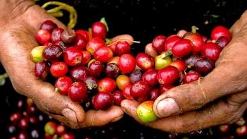 Giá cà phê hôm nay 23/2: Bất ngờ tăng sốc, đồng loạt vượt mức 32.000 đồng/kg