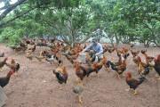 Gà đồi Yên Thế (Bắc Giang): Sản phẩm chất lượng phục vụ Tết