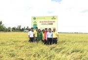 N46.Plus của Đạm Cà Mau giúp cây lúa sinh trưởng tốt, đạt năng suất cao