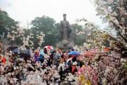Từ ngày 23 đến 26/3, tổ chức Lễ hội Hoa anh đào Hà Nội