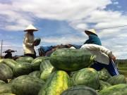 Người trồng dưa hấu lao đao đến khi nào?