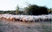 Ninh Thuận ngừng sản xuất lúa vì thiếu nước