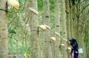 Ngành cao su Việt Nam năm 2017: Radial hóa tạo động lực cho sự tăng trưởng