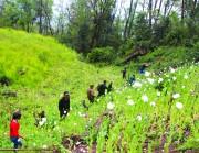 Quyết liệt triệt phá diện tích trồng cây thuốc phiện