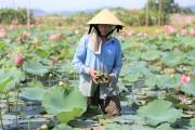 Hiệu quả từ trồng sen trên đất ruộng
