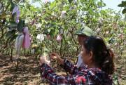 Nông dân tăng thu nhập nhờ trồng ổi sạch