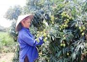 Hưng Yên: Mùa thu hoạch vải VietGAP