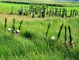 Bình Định: Về thăm làng chiếu cói Hoài Châu Bắc