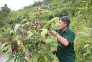 Chè hoa vàng - báu vật trên đất Quế Phong