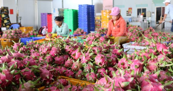 Các doanh nghiệp đang gom thanh long xuất sang thị trường Trung Quốc. Ảnh: KS.
