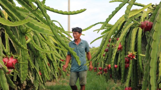 Do trước đó bị ảnh hưởng hạn hán, thiếu nước tưới nên nhiều nhà vườn bỏ lứa này nên sản lượng khan hiếm. Ảnh: KS.
