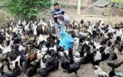 Thu nhập cao từ nuôi gà đen thả đồi