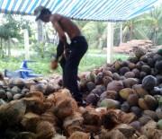 Dừa khô tăng giá mạnh do khan hàng, sức tiêu thụ tăng