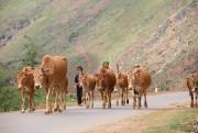 Đồng bào Tây Bắc sẽ nuôi bò theo tiêu chuẩn quốc tế