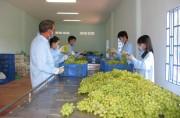 Ninh Thuận nâng cao giá trị cây nho