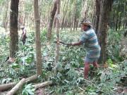Đông Nam Bộ: Cao su thanh lý tăng giá
