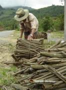 Quảng Ngãi: Xây dựng vùng chuyên canh cây quế