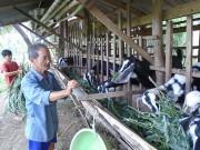 Tiền Giang: Giá dê tăng cao, người nuôi ồ ạt tăng đàn