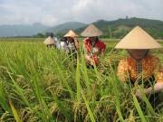 Tăng giá trị gạo Mường Lò