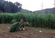 Ninh Bình: Hiệu quả kép từ trồng cỏ nuôi bò