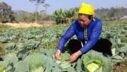 Rau an toàn: Bước chuyển nông nghiệp của thị xã Nghĩa Lộ