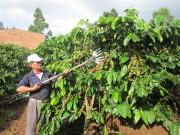 Giảm sức lao động cho nông dân trồng cà phê
