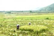 Lai Châu: Xây dựng thương hiệu gạo séng cù