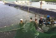 Hải Phòng: Kết quả cao trong nuôi tôm thẻ chân trắng theo tiêu chuẩn Viet GAP