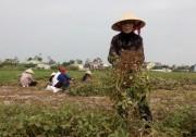 Hàn Quốc hỗ trợ nông dân Nam Đàn trồng lạc thu đông