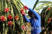 Xuất khẩu rau quả thu 'tỷ đô' vẫn tiếc nuối