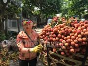 Hải Dương- Đưa vải thiều Thanh Hà trở thành sản phẩm du lịch