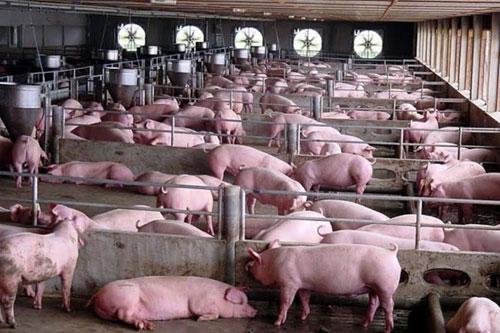 Vissan giới thiệu trại chăn nuôi heo công nghệ khép kín | Doanh ...