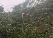 Quảng Trị tích cực phục hồi diện tích cây công nghiệp gãy đổ sau bão số 10