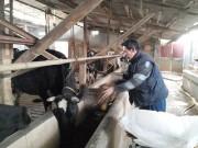 Người nuôi bò giữa phố
