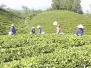 Ngành chè Việt Nam: Sắp xếp lại vùng nguyên liệu