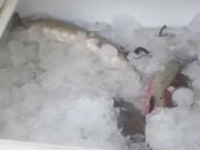 Bắt giữ 3,2 tấn cá tầm đông lạnh không rõ nguồn gốc
