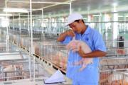 Sản xuất lớn theo hướng tập trung để tránh lỗ cho người nuôi heo