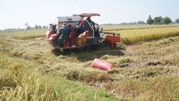 Giá lúa gạo hôm nay ngày 17/2: Sau Tết thương lái thu mua trở lại, giá lúa neo cao