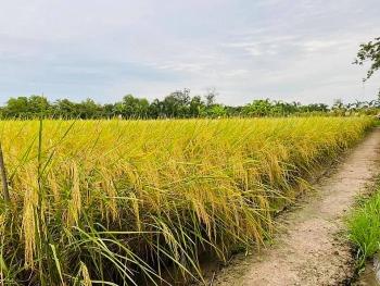Giá lúa gạo hôm nay ngày 22/2: Đầu tuần giao dịch chậm